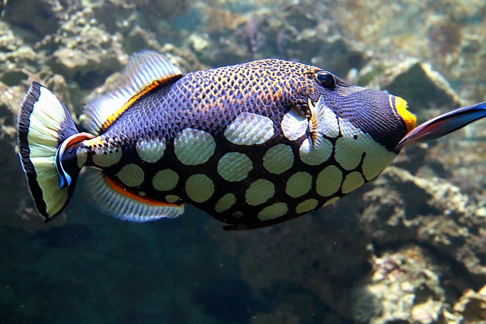 clownfish-1199554_960_720