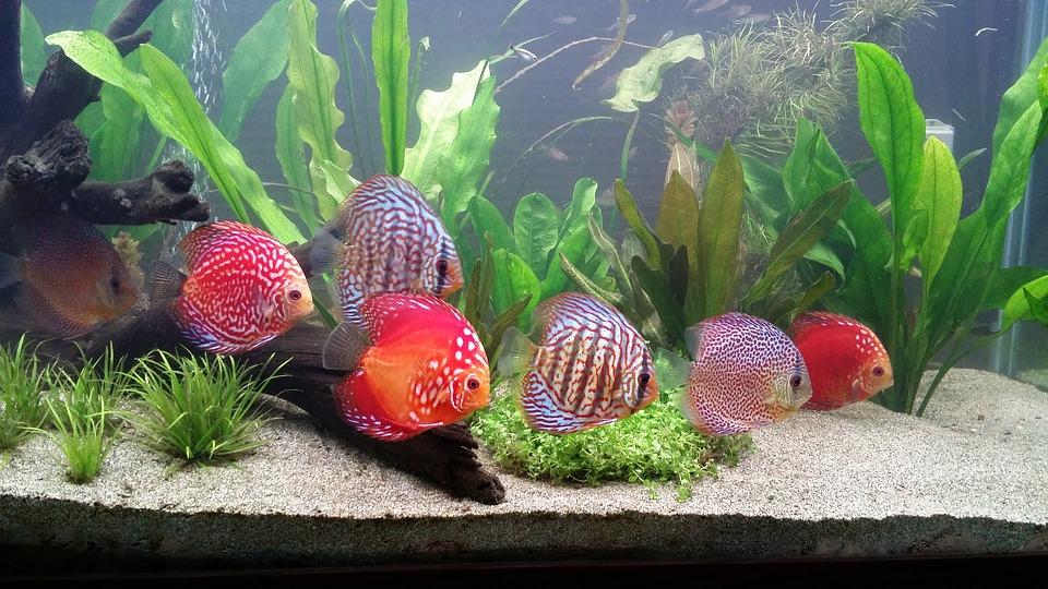schooling-discus-fish-1727842_960_720
