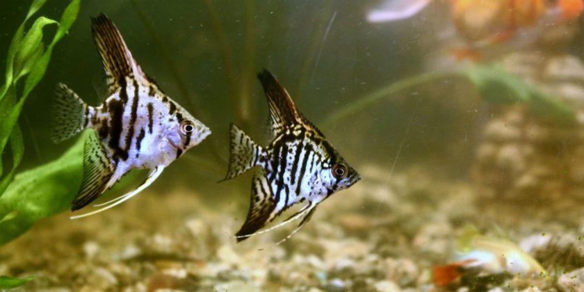 Скалярии: виды ,уход и содержание, размножение, описание, совместимость, фото, кормление, болезни