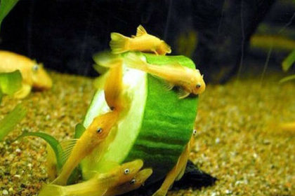 Сомики анцитрусы аквариумные содержание и уход