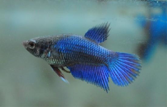 Петушок рыбка: виды, размножение, содержание, фото, видео, совместимость
