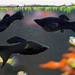 Моллинезии — выносливые и неприхотливые аквариумные рыбки