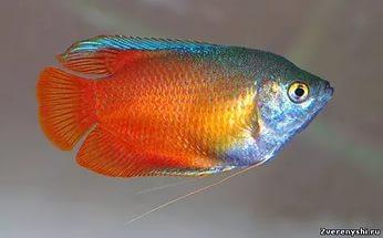 Гурами — стойкие и неприхотливые аквариумные рыбки