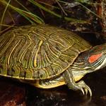 Черепахи-уход размножение кормление описание фото видео