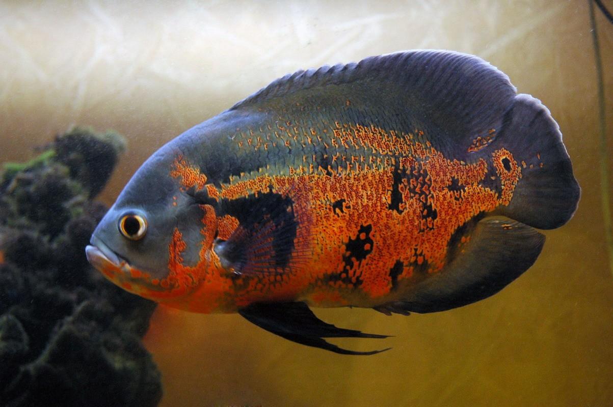 Аквариумные рыбки и растения  Аквариумная рыбка Попугай