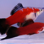 МЕЧЕНОСЦЫ рыбки уход содержание разведение совместимость болезни.