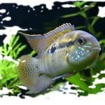 Акара бирюзовая: описание,содержание,кормление,размножение