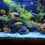 Гуппи-павлин аквариума.