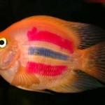 Рыба-попугай: содержание,разведение,описание,видео