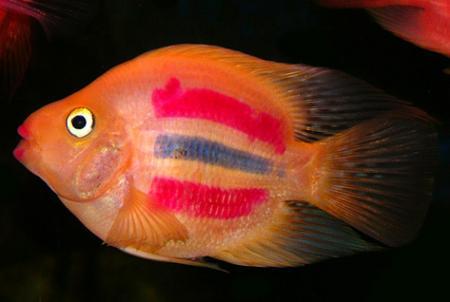 Рыба попугай: виды, содержание, разведение, описание, видео, совместимость