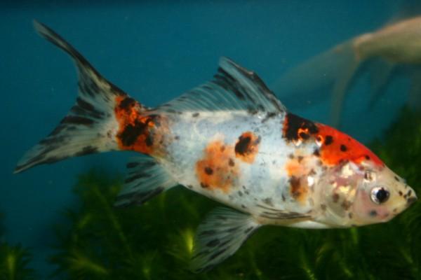 Шубункин рыбка: содержание,разведение,описание,кормление