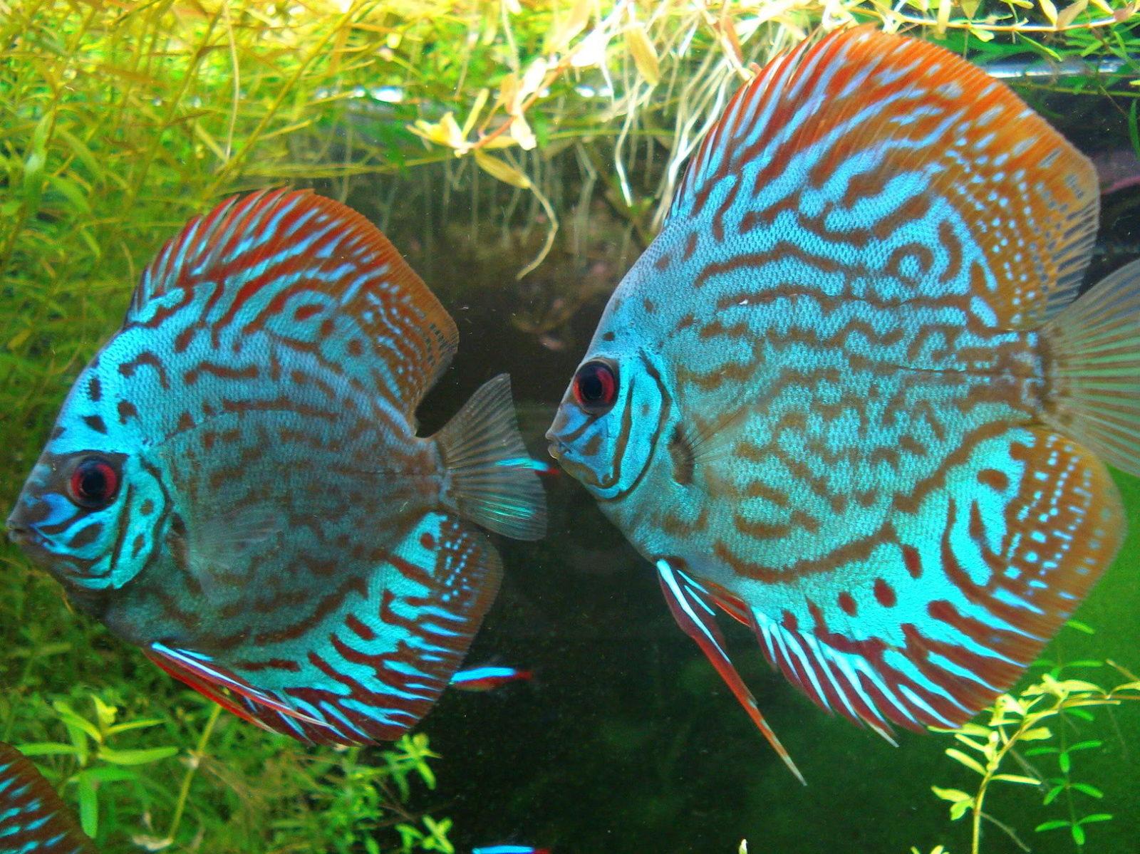 cuidado-de-los-peces-disco