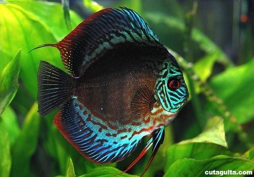 discus_fish_information