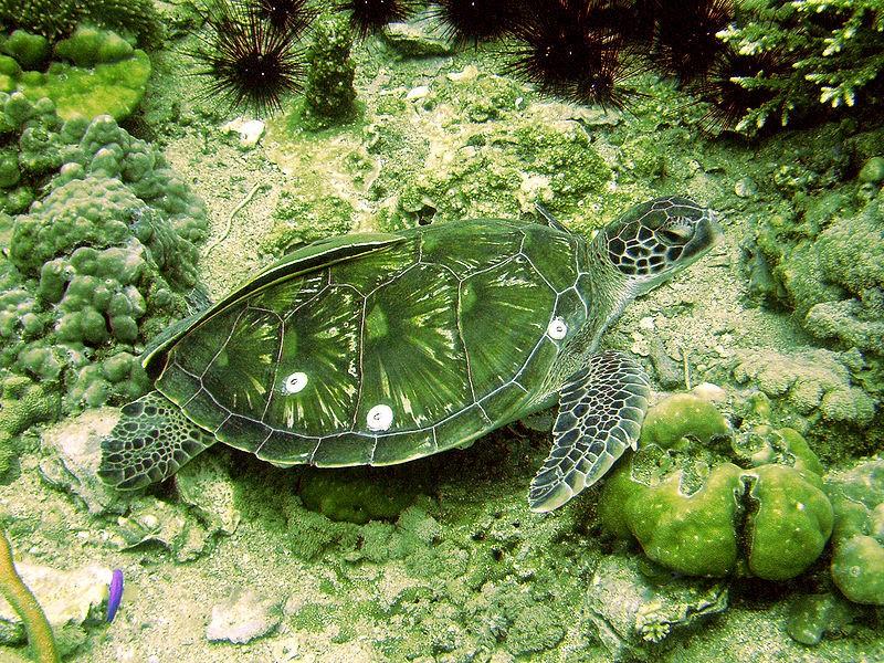 diving-phuket-turtles