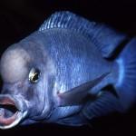 Голубой дельфин: описание,содержание,нерест,кормление,видео
