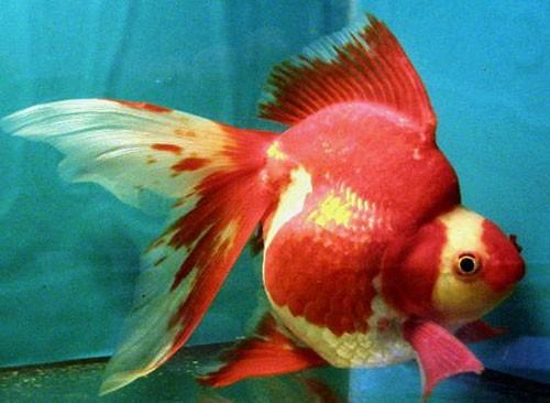 goldfish_ryukin3