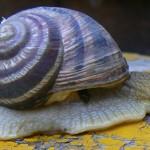 Улитки-содержание кормление описание размножение совместимость