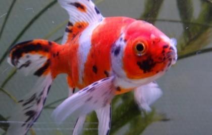 Карп кои - содержание в аквариуме: фото, видео