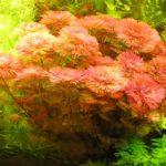 Кабомба- аквариумное растение виды, описание, разведение, содержание
