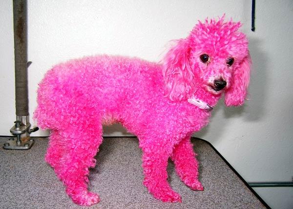 pink-poodle-pre-web1