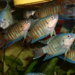 Макропод рыбка уход разведение описание совместимость фото кормление