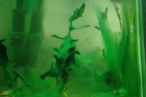 Сине-зелёные (цианобактерии) фото В АКВАРИУМЕ