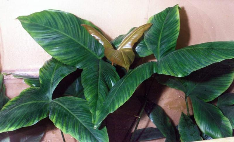 Анубиас гигантский содержание размножение описание фото.