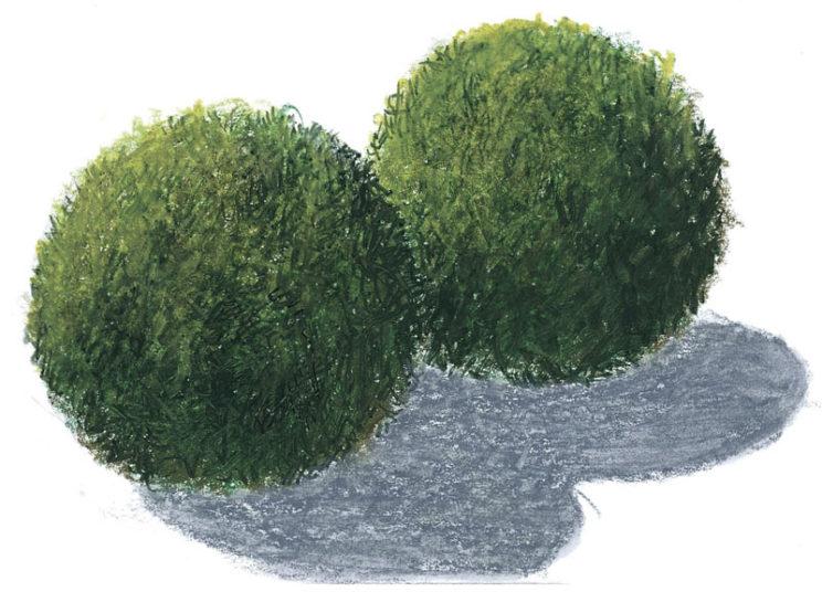 кладофора аквариумное растение ФОТО