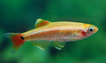 кардинал рыбка фото