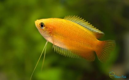 colisa-chuna-gold-nano-lalius_5