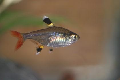 тетры рыбки фото