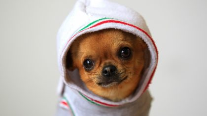 funny-chihuahua-pictures