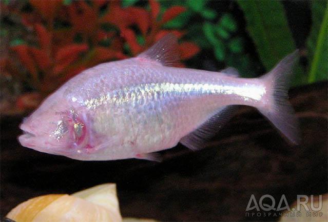 Слепая пещерная рыба или астианакс мексиканский