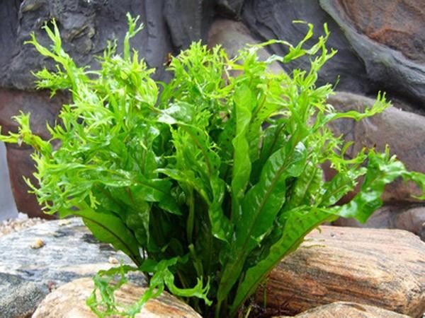 Папоротник таиландский или крыловидный-аквариумное растение