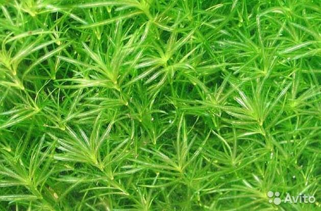 Наяс аквариумное растение содержание размножение фото.