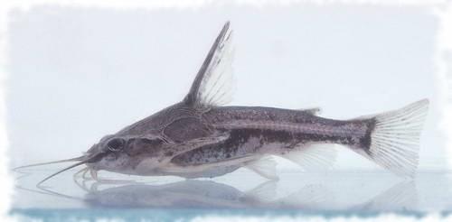 Амблидорас ханкока или бормочущий сомик — аквариумная рыбка.