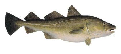 треска рыба