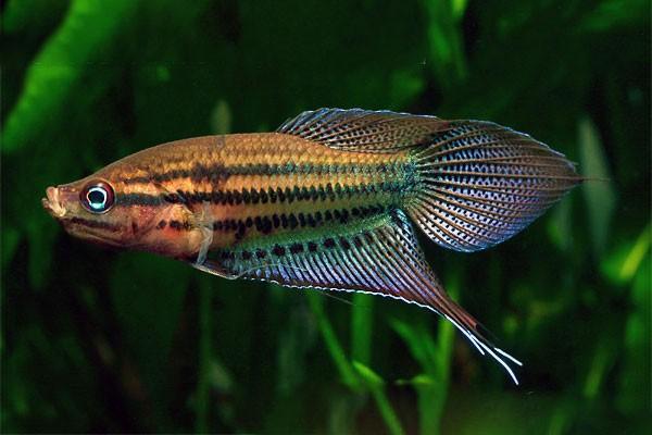 30-1.Trichopsis-vittata