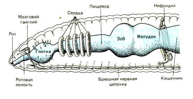 Дождевые черви:описание,фото,червятник,размножение,уход