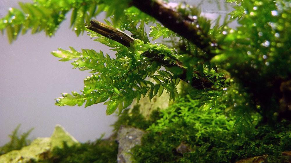 Мох ключевой или Фонтиналис -аквариумное растение