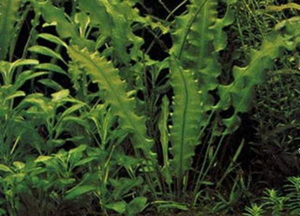 Апоногетон волнистый или живородящий-аквариумное растение