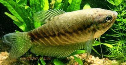 Trichogaster_pectoralis