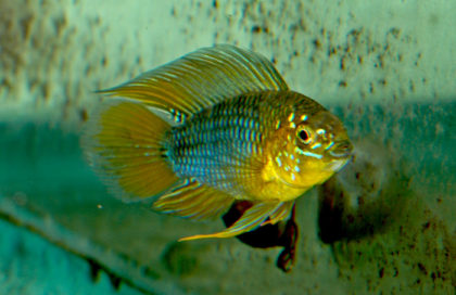apistogramma-borellii-opal-23