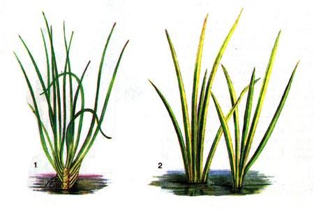 Аир травянистый -аквариумное растение фото содержание.