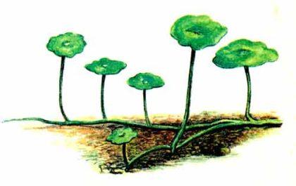 Гидрокотила вертикальная, Щитолистник мутовчатый или Водяной пупок