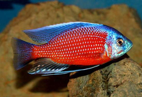 копадихромис каданго фото
