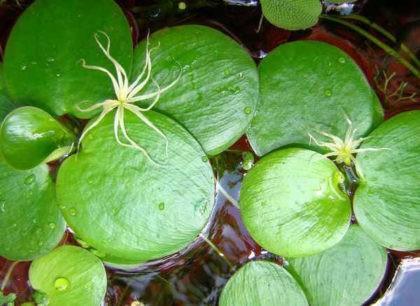лимнобиум побегоносный фото