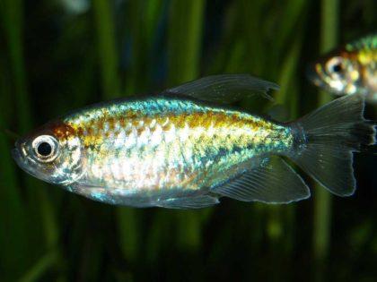 конго аквариумная рыбка фото