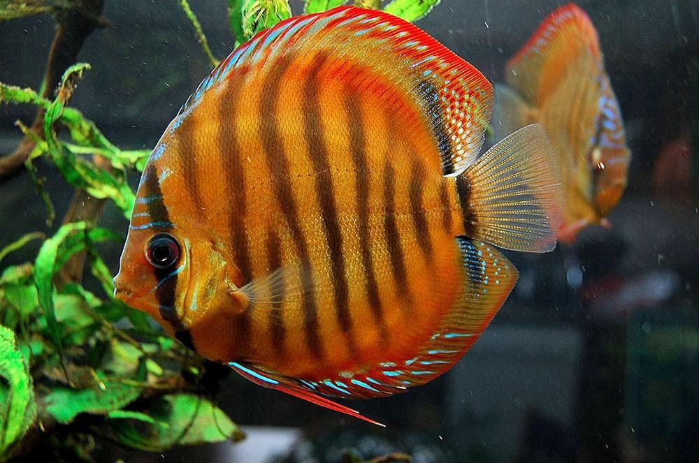 Дискус коричневый, Дискус голубой-аквариумные рыбки.