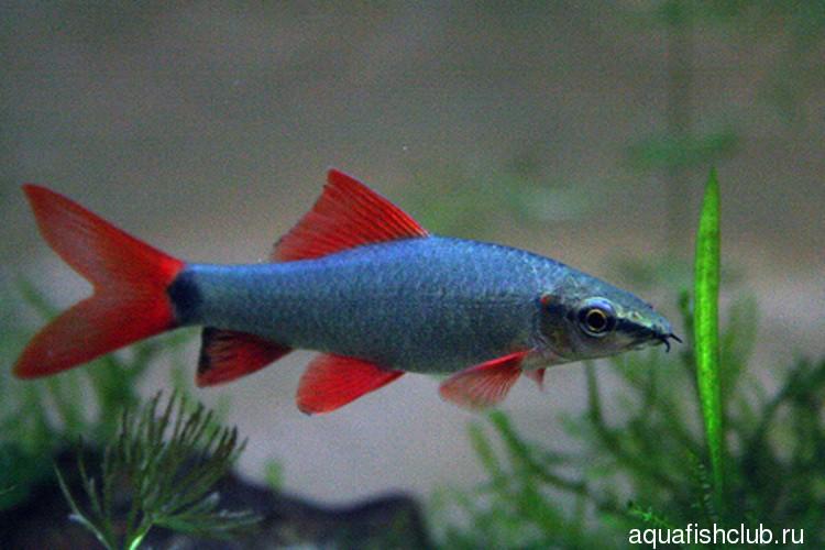 Лабео белый альбинос , Лабео двухцветный , Лабео зеленый — аквариумные рыбки.